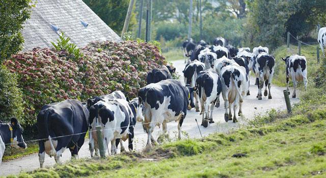 sữa tươi nguyên kem pháp Paysan breton hộp 1 lit